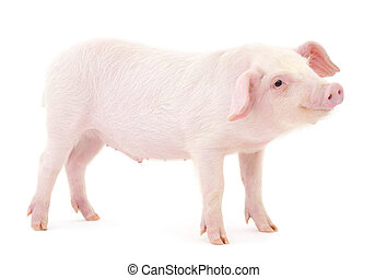 Pig on white - Pig who is represented on a white background