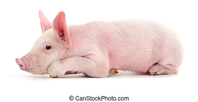 Pig on white.