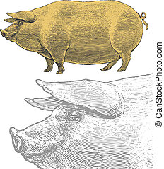 Pig or swine in engraving style - Vector illustration,...