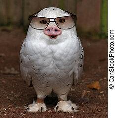 Pig-Owl