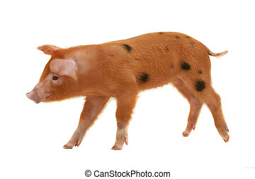 pig - red pig on a white background