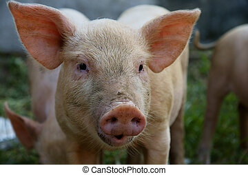 Pig - close up of little pig in a farm in China