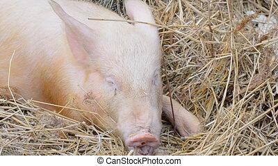 pig - Pig on a farm.