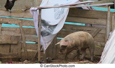 Pig Playing At A Countryside Pigsty, Bolivia - Close-up low...