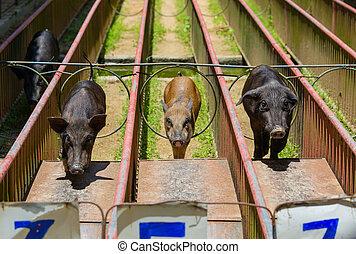 Pig race at the county fair