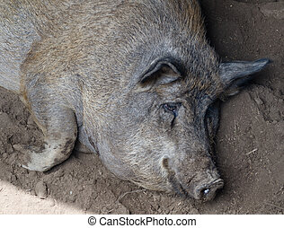 pig resting in the mud