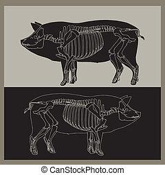 Pig skeleton illustration