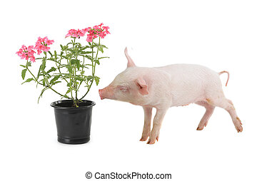 pig smells flowers on a white background