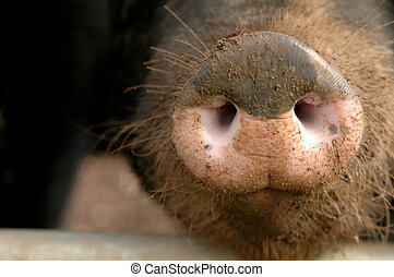 pig snout - close-up of a hairy pig snout