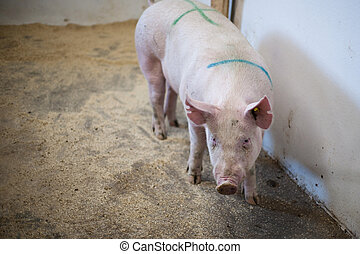 Pig standing in a stable