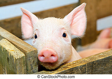 Pig - Small and funny pink piglet in pen