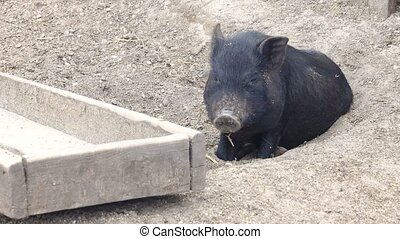 pig at a trough