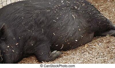Pig. The pig is sleeping