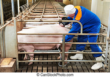 Pig ultrasound diagnosis after artificial insemination...
