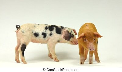 pig - two pigs on a white background, sound