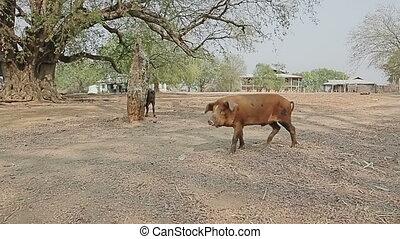 Pig walking trough village - Pig walking trough the center...