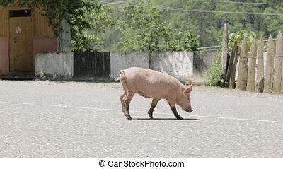 Pig walks on the road, Georgia