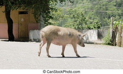Pig walks on the road, Georgia - Pig walks on the road -...