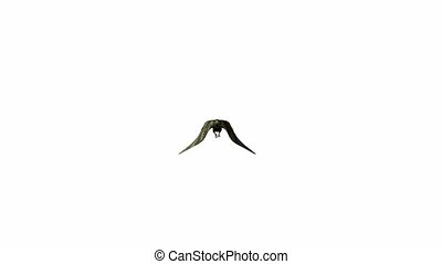 Pigeon - a pigeon flying on a white background