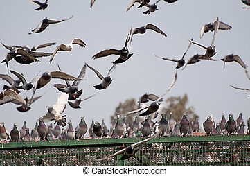pigeon sitting on top and flying over there breeding cages