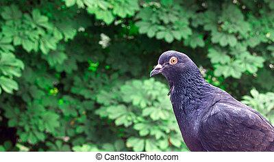 Pigeon city bird