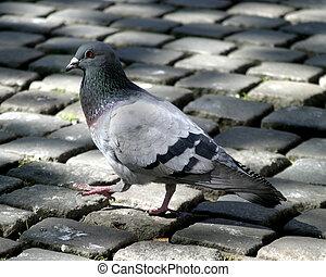 Pigeon Cobblestone