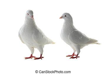 pigeon, deux, blanc