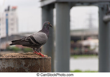 (pigeon, dove), 港, ∥あるいは∥, 鳥, 港