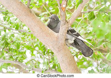 pigeon, dove on the tree