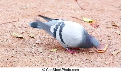 Pigeon Eating a Biscuit - Dove Bird Eating A Chocolate...