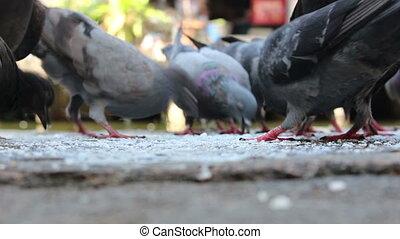 pigeon eating food