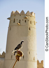 Pigeon (Fam; Columbidae) - A training bird for falconers, ...