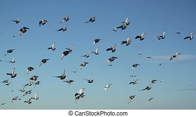 pigeon flock fly - pigeon flock in the sky