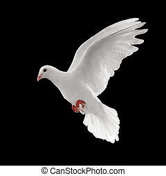pigeon - flying white dove isolated on black background
