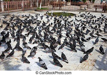 pigeon, foule