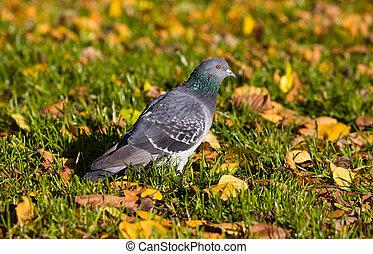 Pigeon in autumn