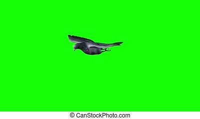 Pigeon in flight and gliding phase - green screen - Pigeon ...