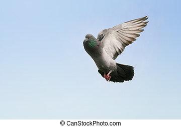Pigeon in flight - Beautiful grey pigeon flying, blue sky ...