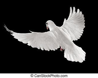 pigeon in flight - flying white dove isolated on black...