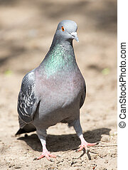 pigeon in the park on the nature
