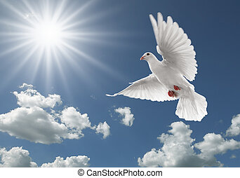 pigeon in the sky - white dove flying on clear blue sky