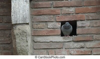 pigeon nesting - Pigeon in the wall of the Rocca di...