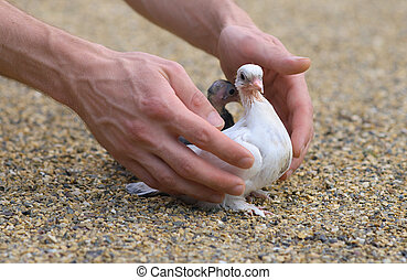 Pigeon Nestling Bird white on sand and Man Hands holding ...