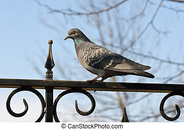 Pigeon on a fencing
