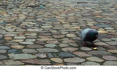 Pigeon on a stone pavement found under the wrapper of the...