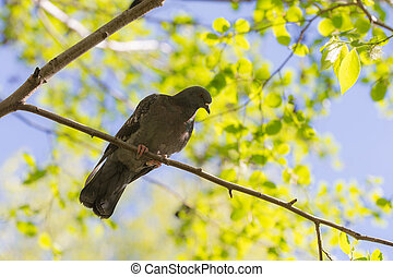 Pigeon on a tree in the spring