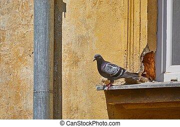 Pigeon on a windowpane