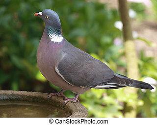Pigeon on birdbath