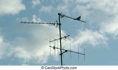 Pigeon on Digital Television Radio