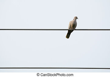Pigeon on Electric Wire